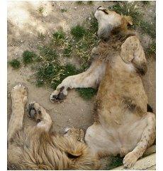 Leões - Jardim Zoológico