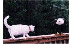 Águia e Gato