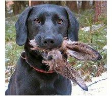 Cão com coelho na boca