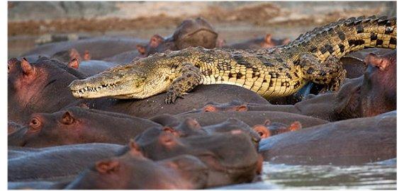 Crocodilo e hipopótamos