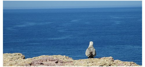 Gaivota Cabo de São Vicente