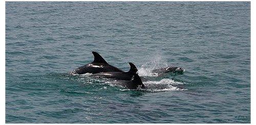 Golfinhos Tróia