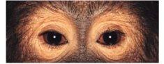 Olhos de macaco