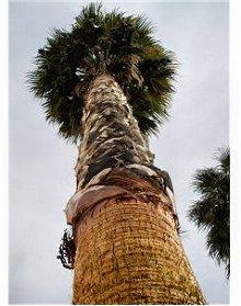 Palmeira Beja