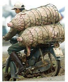 Porcos - Mota