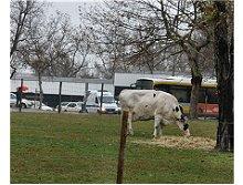 Vacas na Praça de Espanha