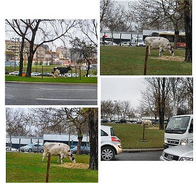 Vacas na Praça de Espanha - Lisboa - Jan-2009