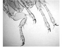 Patas de pulga